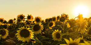 "How Artificial ""Nano Sunflowers"" Can Help Harvest Solar Energy?"