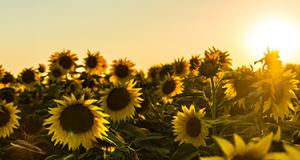 artificial-nano-sunflower-generate-solar-energy-sunbot